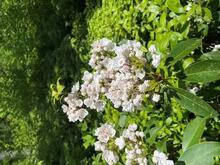 While mountain laurel makes it difficult to walk through a forest, their flowers are celebrated for welcoming in summer in the Northeast. Photo courtesy of Eli Ward.