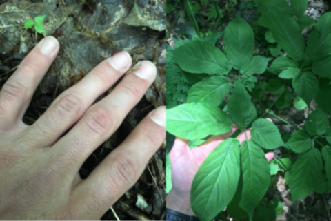 Karam Sheban '20 MF shows a ginseng seedling (left) and a mature plant on a forest farm in New York